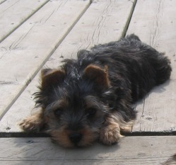 Yorkie vs Yorkshire Silky Terrier